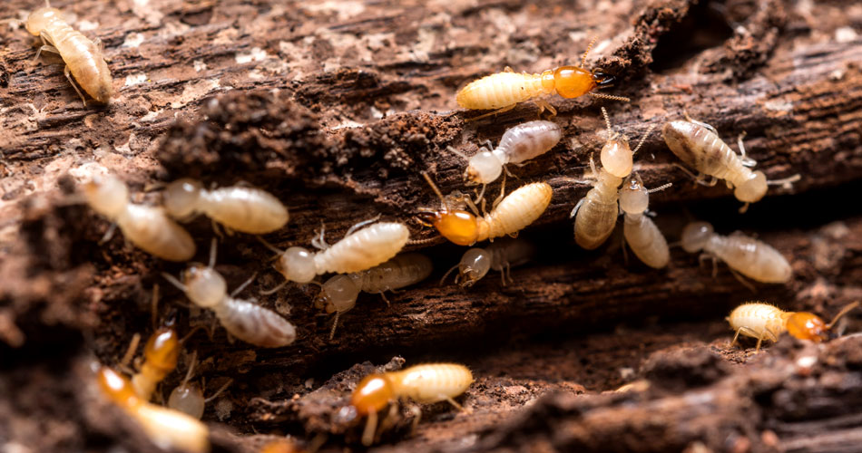 Termite Home Inspection Services